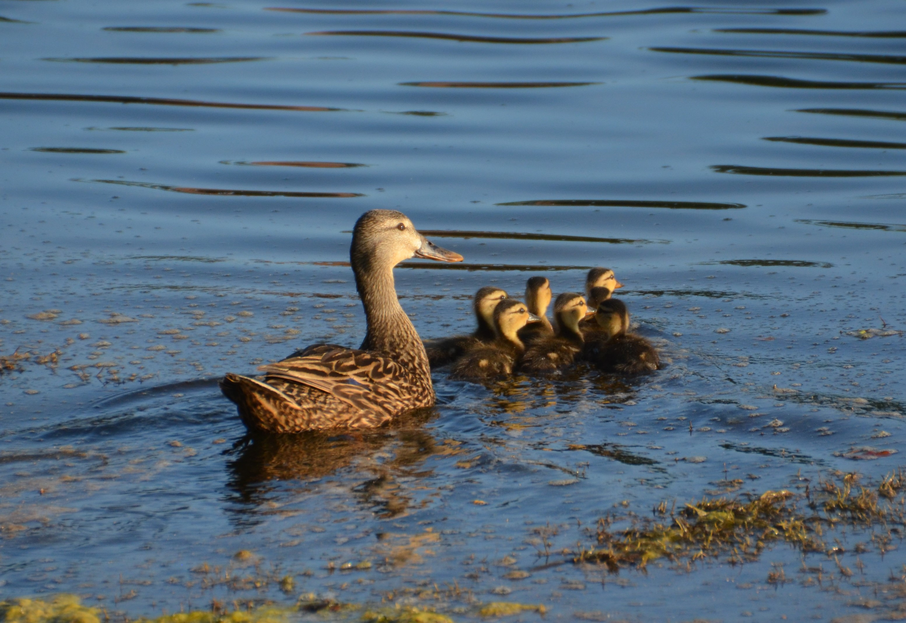 Andy-Weisel_Ducks-at-Shadow-Wood