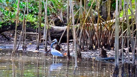 Estero River Waterfowl